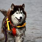 Bear. A 3 legged search and rescue dog by kremphoto