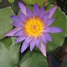 Purple waterlily by machka