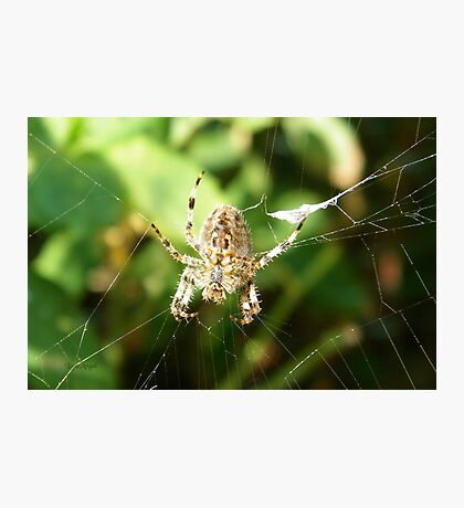 Garden Spider Photographic Print