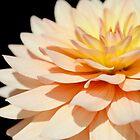 Peach Dahlia super close up. by Kerry McQuaid