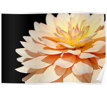 Peach Dahlia super close up. Poster