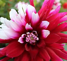 Favourite Dahlia by karina5