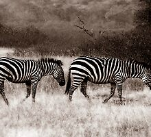 Zebras by Roger Sampson