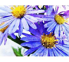 Blue giant Daisy Photographic Print