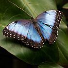 Blue Butterfly by vividpeach