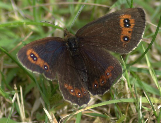 Scotch Argus by Patrick England