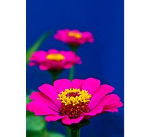 Pink Zinnia! Photographic Print