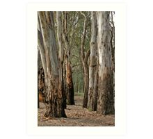 Red gums, beside the Murray River near Robinvale Art Print
