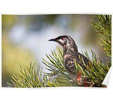 Wattle Bird Sitting in Tree Poster