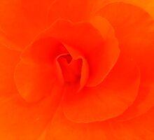 Orange Begonia by terriclark