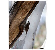 White-throated tree creeper Poster