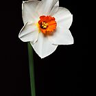 White and Orange Daffodil #3 by Chris Cobern