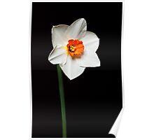 White and Orange Daffodil #3 Poster