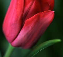 Tulip Of RED by Joy Watson
