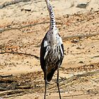 Pacific Heron, Juvenile. (White Necked Heron) by Cindy McDonald