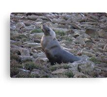 Australian Sea Lion (Neophoca cinerea) - Fitzgerald Bay, South Australia Canvas Print