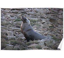Australian Sea Lion (Neophoca cinerea) - Fitzgerald Bay, South Australia Poster