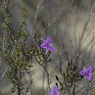 Twining Fringe Lilies (Thysanotus patersonii) #2 by Elaine Teague