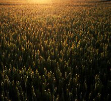 Cornfield Sunset by Reuben Vick