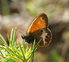 Pearly Heath by marens