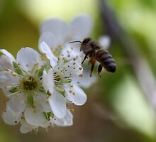 Plum Blossom Bee by yolanda