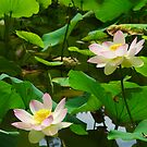 Two Lotus Flowers in pond by 7horses