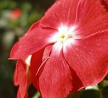 Close Up Of A Red Busy Lizzie Flower by taiche