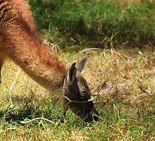 Domesticated Brown Llama by rhamm