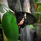Butterfly Beauty by bicyclegirl