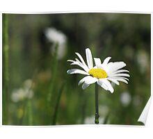 Daisy Amongst Grass Poster