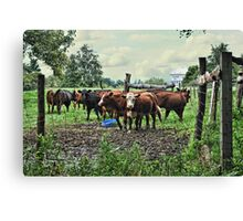 Curious Cows Canvas Print