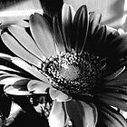 Black and White Chrysanthemum by abercot
