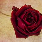 Papa Meilland......A red red rose.. by inkedsandra