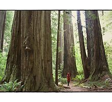 Northern California Redwoods by maryanne gobble