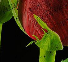Musical Roses by nicfarrington