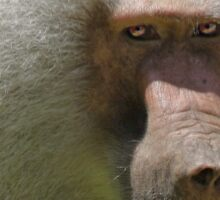 Baboon...not a guy you invite  on your Birth Day party... Sticker