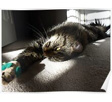 Maine Coon at play Poster
