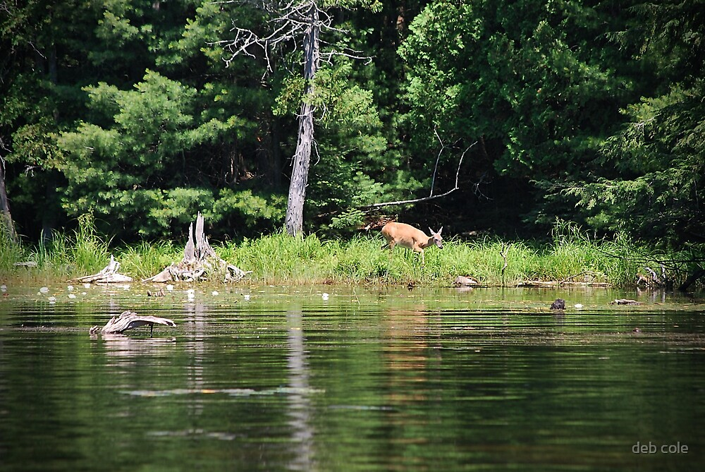 Tranquil Doe by deb cole
