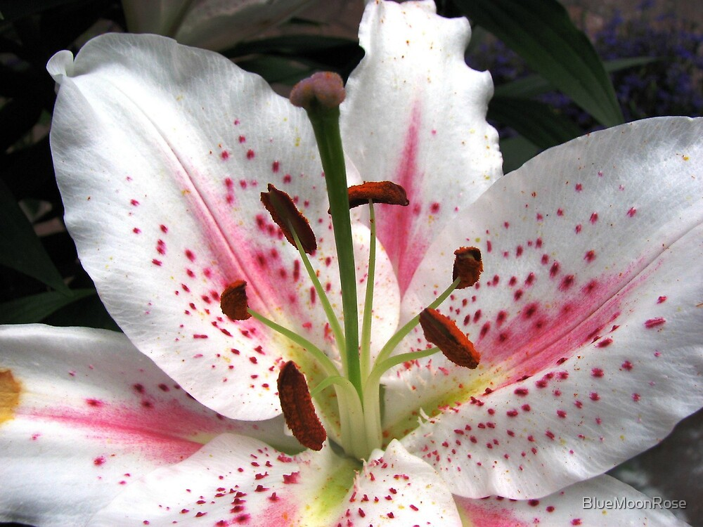 Glorious Oriental Lily Flower by BlueMoonRose