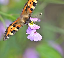 Small Tortoiseshell 2 (Aglais urticae) by Gareth Jones