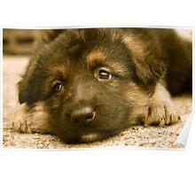 Puppy Dog Eyes-(German Shepherd Puppy) Poster