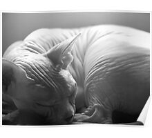 Sleeping Sphynx in Black & White Poster