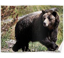 Yellowstone 2011 - Bear Poster