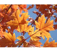 Autumn Leaves art prints Orange Glowing Leaf Blue Sky Baslee Photographic Print