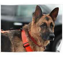 Captain, An awesome search and rescue dog Poster