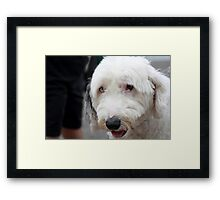 Boomer. A great trail search and rescue dog Framed Print