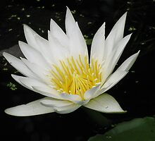 White Water Lilly by Colleen Stevenson by Access Arts Camera Wonderers