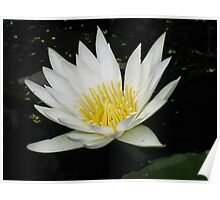 White Water Lilly by Colleen Stevenson Poster