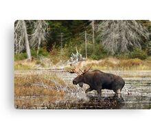 Bull moose - Algonquin Park Canvas Print