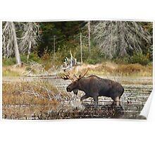 Bull moose - Algonquin Park Poster
